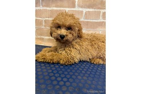 トイプードルの子犬(ID:1251311030)の1枚目の写真/更新日:2020-11-20