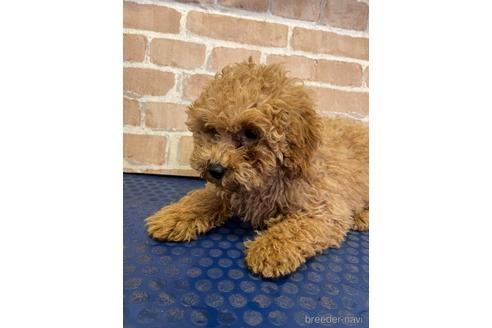 トイプードルの子犬(ID:1251311030)の2枚目の写真/更新日:2020-11-20