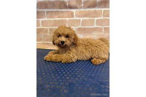 トイプードルの子犬(ID:1251311030)の3枚目の写真/更新日:2020-11-20