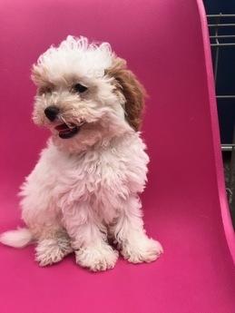 トイプードルの子犬(ID:1251311035)の2枚目の写真/更新日:2019-10-31