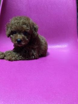 トイプードルの子犬(ID:1251311036)の2枚目の写真/更新日:2019-08-31