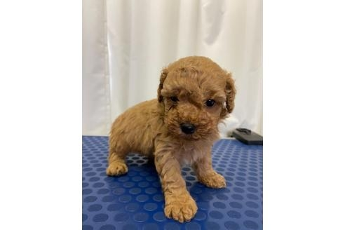 トイプードルの子犬(ID:1251311039)の1枚目の写真/更新日:2017-11-07