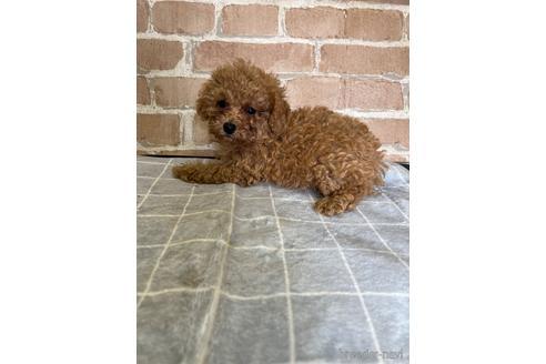 トイプードルの子犬(ID:1251311039)の2枚目の写真/更新日:2017-11-07