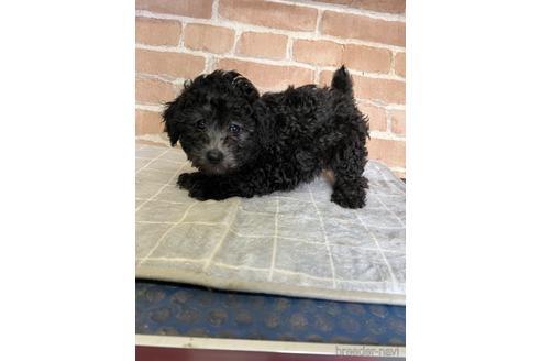 トイプードルの子犬(ID:1251311040)の1枚目の写真/更新日:2020-11-05