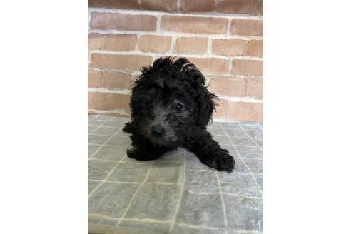 トイプードルの子犬(ID:1251311040)の2枚目の写真/更新日:2020-11-05