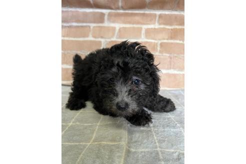 トイプードルの子犬(ID:1251311040)の3枚目の写真/更新日:2020-11-05