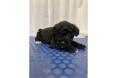 トイプードルの子犬(ID:1251311041)の1枚目の写真/更新日:2018-01-04