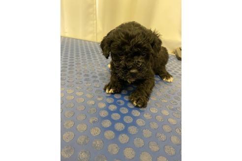 トイプードルの子犬(ID:1251311041)の2枚目の写真/更新日:2018-01-04