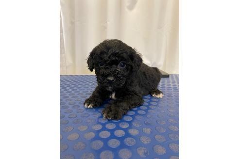 トイプードルの子犬(ID:1251311041)の3枚目の写真/更新日:2018-01-04