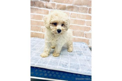 トイプードルの子犬(ID:1251311042)の1枚目の写真/更新日:2021-09-10