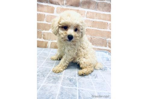 トイプードルの子犬(ID:1251311042)の2枚目の写真/更新日:2021-09-10