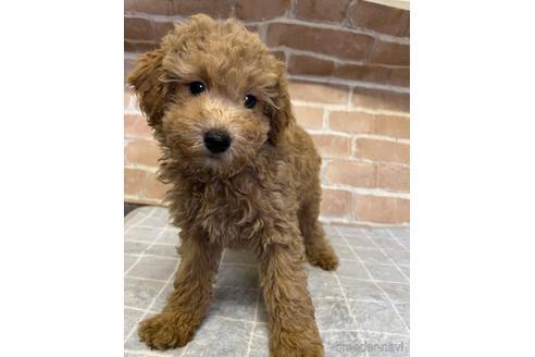 トイプードルの子犬(ID:1251311043)の1枚目の写真/更新日:2020-11-09