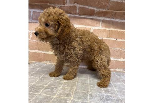 トイプードルの子犬(ID:1251311043)の2枚目の写真/更新日:2020-11-09