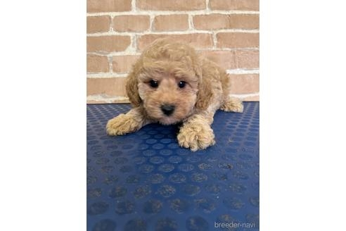 トイプードルの子犬(ID:1251311044)の1枚目の写真/更新日:2021-09-13