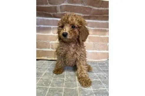 トイプードルの子犬(ID:1251311044)の2枚目の写真/更新日:2018-01-11