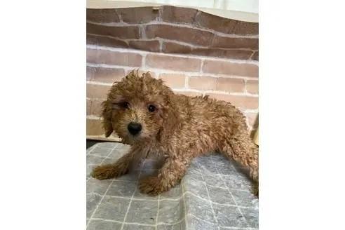 トイプードルの子犬(ID:1251311044)の3枚目の写真/更新日:2018-01-11