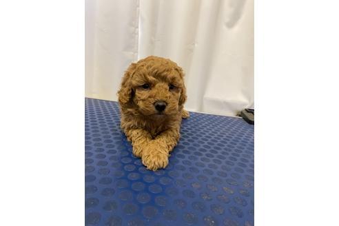 トイプードルの子犬(ID:1251311045)の1枚目の写真/更新日:2018-02-22
