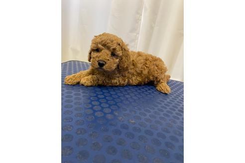 トイプードルの子犬(ID:1251311045)の2枚目の写真/更新日:2018-02-22