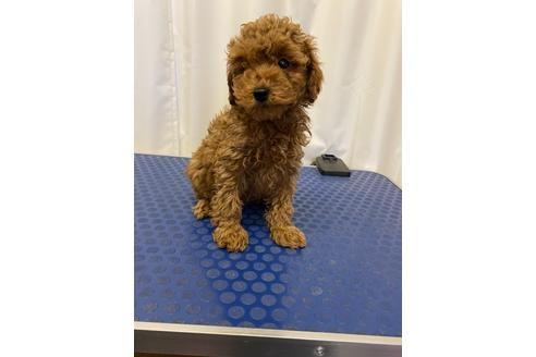 トイプードルの子犬(ID:1251311045)の3枚目の写真/更新日:2020-11-20