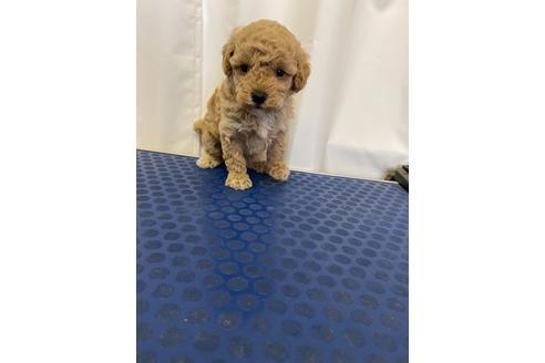 トイプードルの子犬(ID:1251311046)の1枚目の写真/更新日:2018-03-26