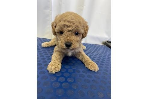 トイプードルの子犬(ID:1251311046)の2枚目の写真/更新日:2020-11-20