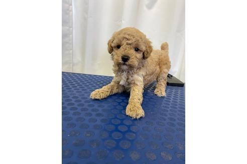 トイプードルの子犬(ID:1251311046)の3枚目の写真/更新日:2020-11-20