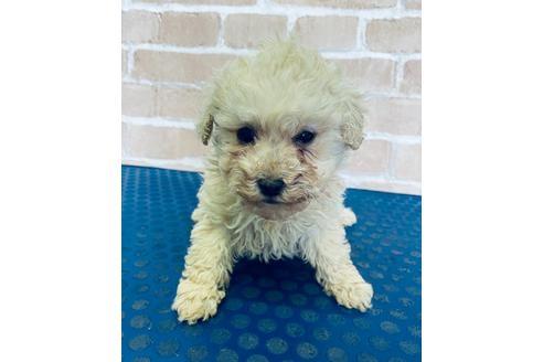 トイプードルの子犬(ID:1251311047)の1枚目の写真/更新日:2018-03-26