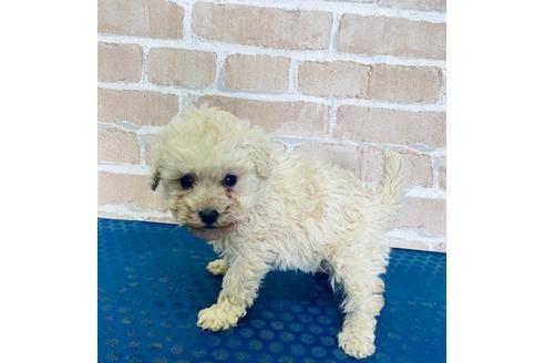 トイプードルの子犬(ID:1251311047)の2枚目の写真/更新日:2018-03-26