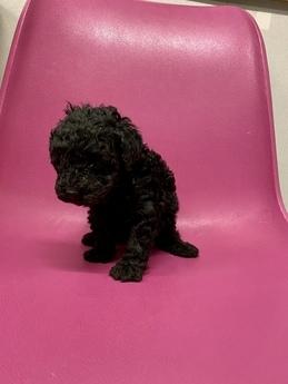 トイプードルの子犬(ID:1251311048)の1枚目の写真/更新日:2018-04-02