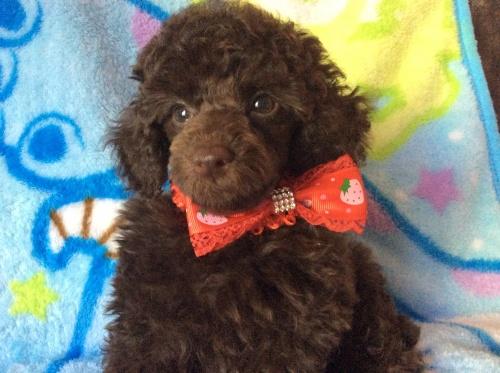 トイプードルの子犬(ID:1251611019)の2枚目の写真/更新日:2017-07-26