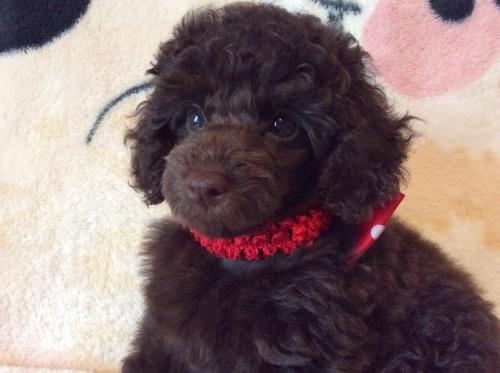 トイプードルの子犬(ID:1251611019)の3枚目の写真/更新日:2017-07-26