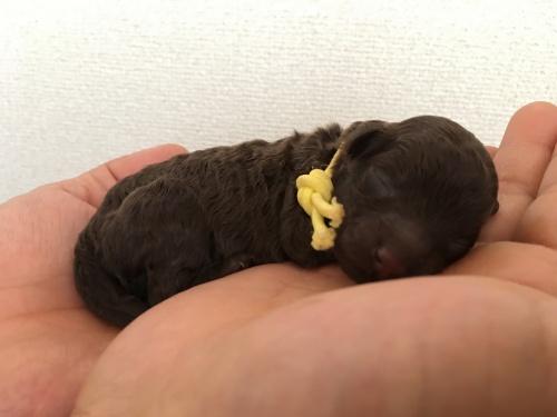 トイプードルの子犬(ID:1251611019)の4枚目の写真/更新日:2017-07-26