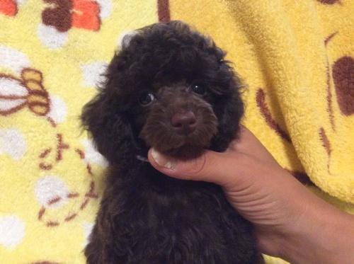 トイプードルの子犬(ID:1251611022)の2枚目の写真/更新日:2017-08-05