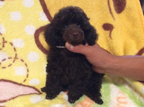 トイプードルの子犬(ID:1251611022)の3枚目の写真/更新日:2017-08-05