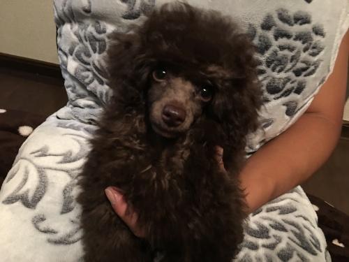 トイプードルの子犬(ID:1251611023)の1枚目の写真/更新日:2017-07-31