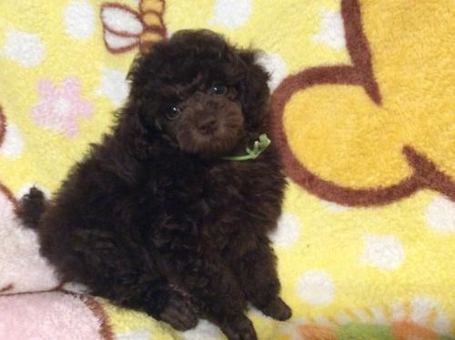 トイプードルの子犬(ID:1251611023)の2枚目の写真/更新日:2017-07-31