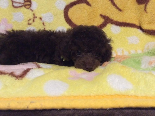 トイプードルの子犬(ID:1251611023)の3枚目の写真/更新日:2017-07-31