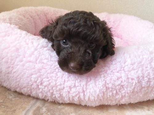 トイプードルの子犬(ID:1251611024)の1枚目の写真/更新日:2018-07-12