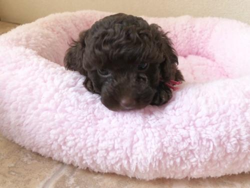 トイプードルの子犬(ID:1251611024)の2枚目の写真/更新日:2018-07-12
