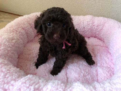 トイプードルの子犬(ID:1251611024)の4枚目の写真/更新日:2018-07-12