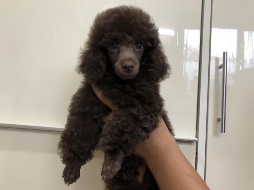 トイプードルの子犬(ID:1251611025)の1枚目の写真/更新日:2018-09-20