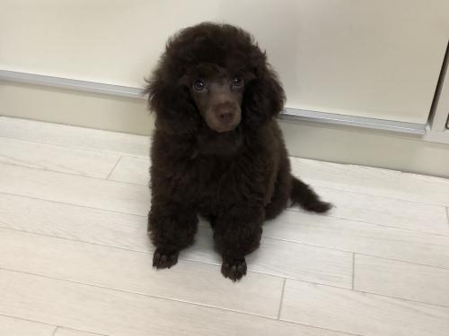 トイプードルの子犬(ID:1251611025)の2枚目の写真/更新日:2018-09-20