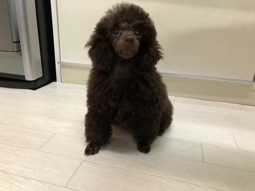 トイプードルの子犬(ID:1251611025)の3枚目の写真/更新日:2018-09-20