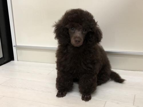 トイプードルの子犬(ID:1251611025)の4枚目の写真/更新日:2018-09-20