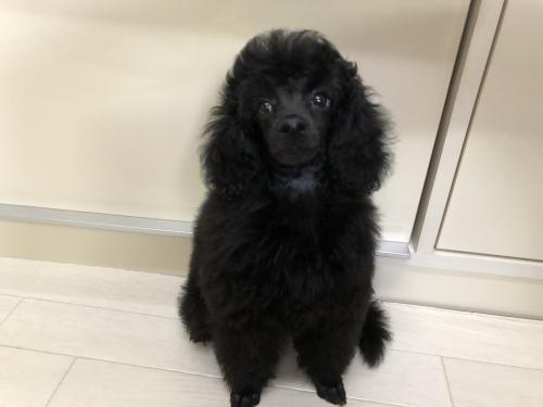 トイプードルの子犬(ID:1251611026)の1枚目の写真/更新日:2018-09-20