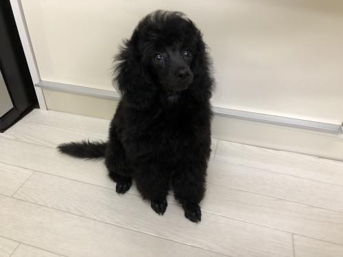 トイプードルの子犬(ID:1251611026)の3枚目の写真/更新日:2018-09-20
