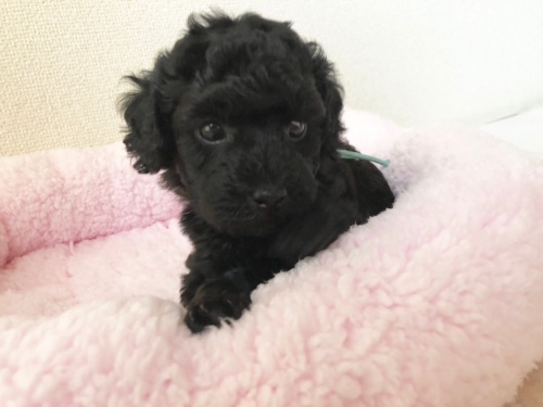 トイプードルの子犬(ID:1251611027)の1枚目の写真/更新日:2018-07-12