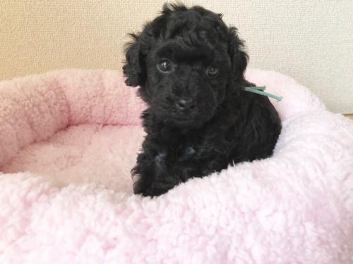 トイプードルの子犬(ID:1251611027)の2枚目の写真/更新日:2018-07-12