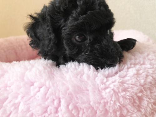 トイプードルの子犬(ID:1251611027)の3枚目の写真/更新日:2018-07-12