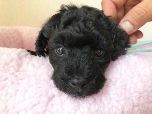 トイプードルの子犬(ID:1251611027)の4枚目の写真/更新日:2018-07-12